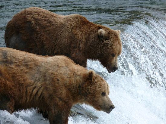 Katmai Nationalpark, AK: bears feeding
