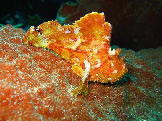 Wakatobi Dive Resort: Frog Fish :)