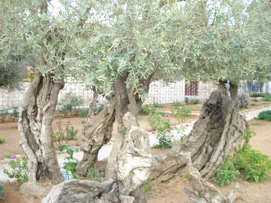 2 000 year old olive trees in the garden of gethsemane for Age olive trees garden gethsemane