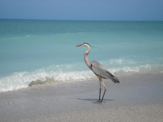 Periwinkle Cottages of Sanibel: wildlife on the beach