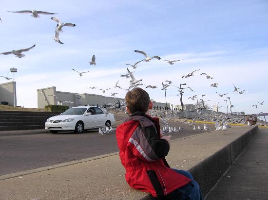 Paducah Riverwalk: Watching the gulls swarm for a handout.