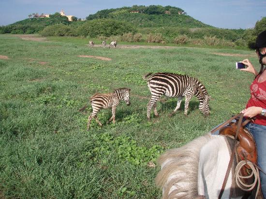 Cuixmala: Zebras!
