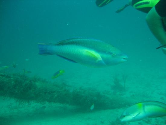 Wreck of the River Taw: Parrot fish