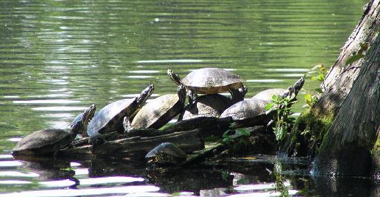 Swan Lake Iris Gardens : Turtles