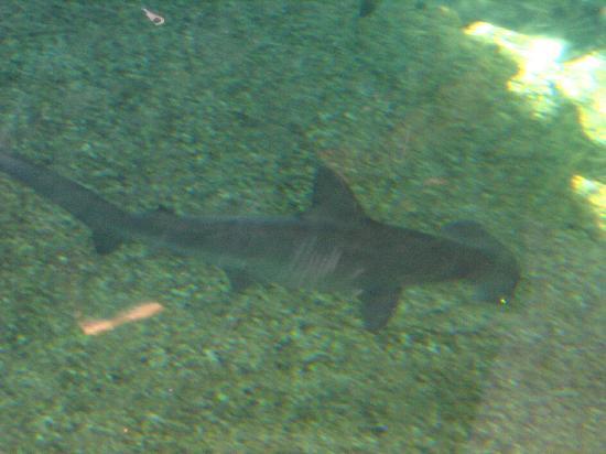 Wailuku, HI: hammerhead shark