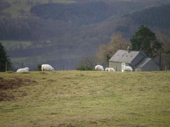 Plas Hafod: Sheep farming