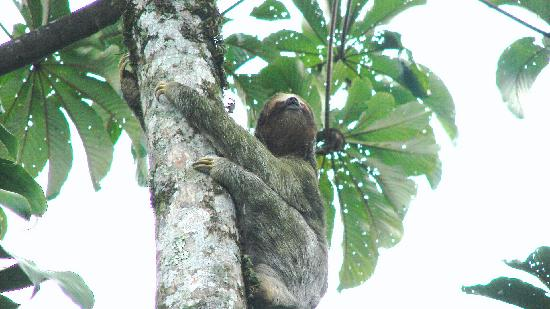 ‪‪Leaves and Lizards Arenal Volcano Cabin Retreat‬: resident 3-toed sloth‬