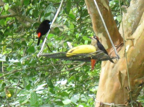 ‪‪Leaves and Lizards Arenal Volcano Cabin Retreat‬: Passerini's Tanager & Black-cheeked Woodpecker‬