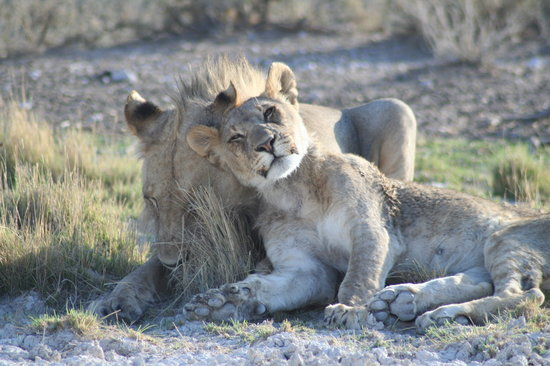 Parco nazionale di Etosha, Namibia: Early start - lions