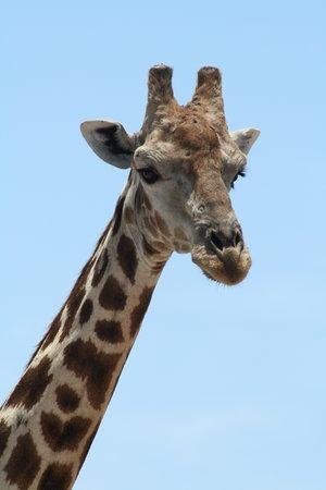 Etosha National Park, Ναμίμπια: Giraffe