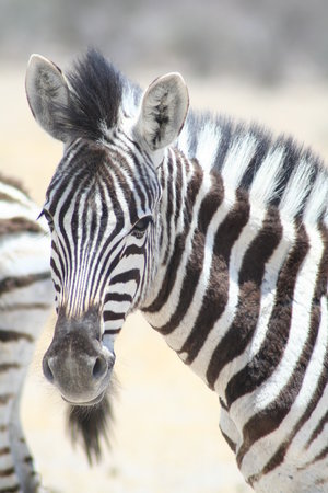Etosha National Park, Ναμίμπια: Nice goat-ee !