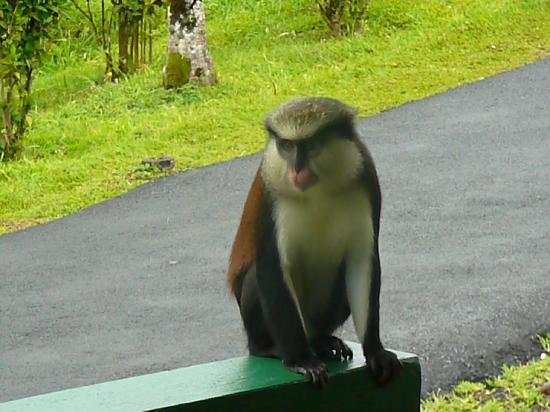 Grand Etang Lake: Monkey