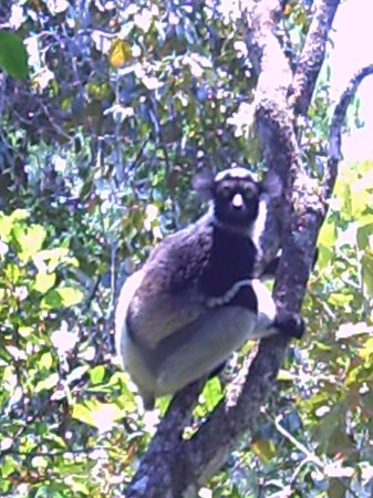 Andasibe-Mantadia National Park  (Reserve of Perinet): Indri indri