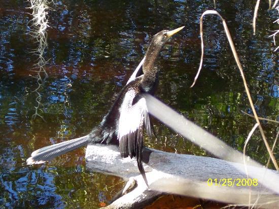 Isla de Sanibel, FL: anhinga