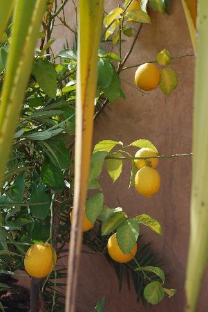 Dar Rbaa Laroub: citronier
