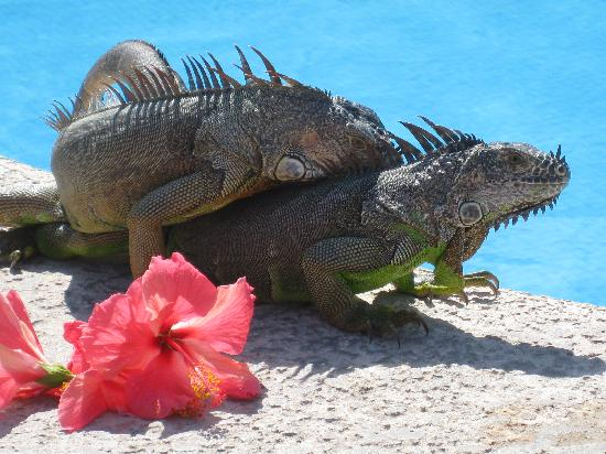 Costa Club Punta Arena: iguanas have a dip & then having a little nookie