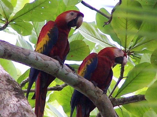 La Paloma Lodge: scarlet macaws at Corcovado NP