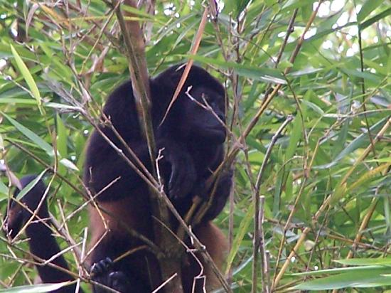 La Paloma Lodge: Howler monkey on mangrove tour