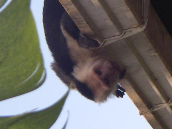 La Paloma Lodge: white faced capuchin monkey that visited the lodge daily