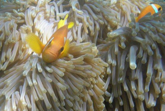 جزر المالديف: nemo fish