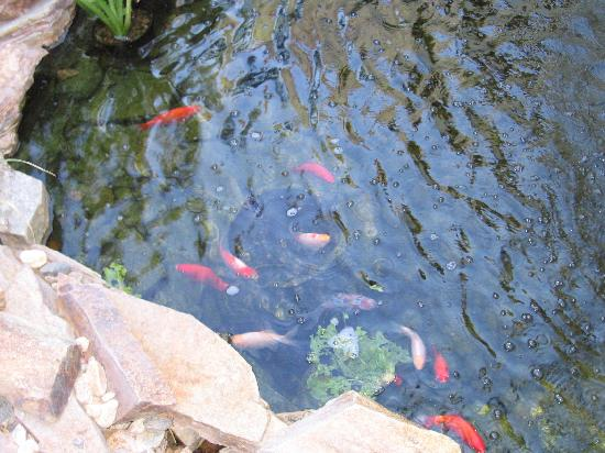 Milo's Inn at Boulder: Fish swimming in the courtyard pond