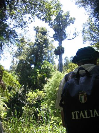 Te Ngahere Iti Foreststay: Massive native tree - protected for now