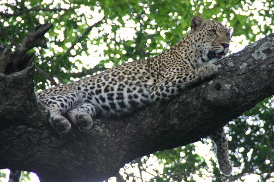Chitwa Chitwa Private Game Reserve: One of our many Leopard sightings