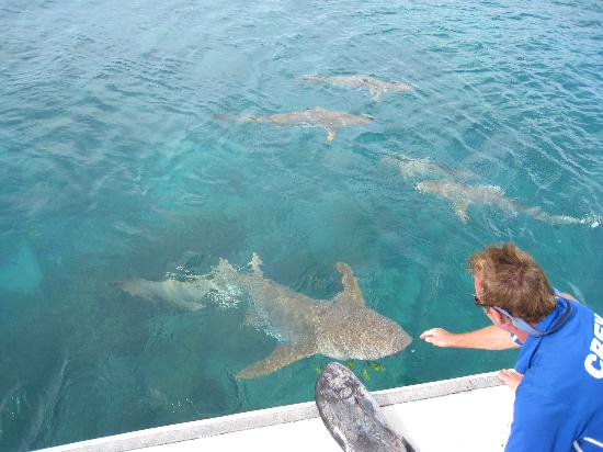 Lizard Island Resort: Friendly Sharks