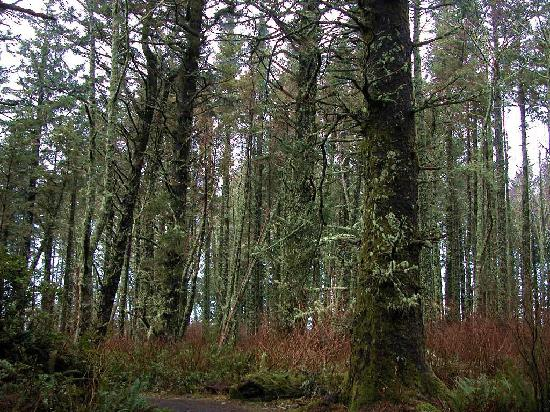 The Beachcomber Cottages: Mossy tree along the Cook Trail just to the north