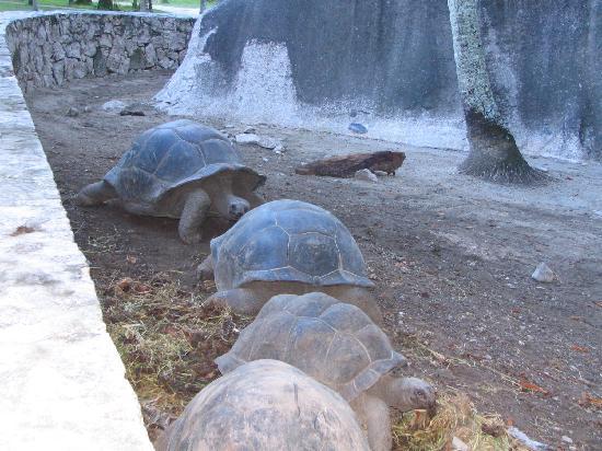 Anse Source D'Argent: dans l'enclos, des tortues géantes à la queuleuleu!