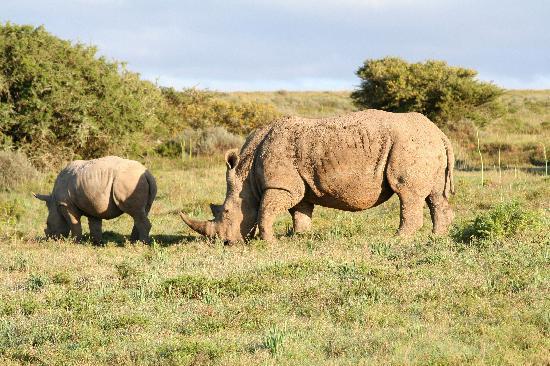 Shamwari Game Reserve Lodges: Baby Rhino