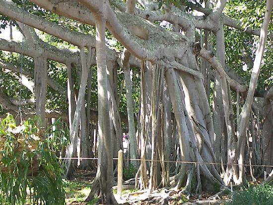 Fort Myers, FL: Banyan Trees