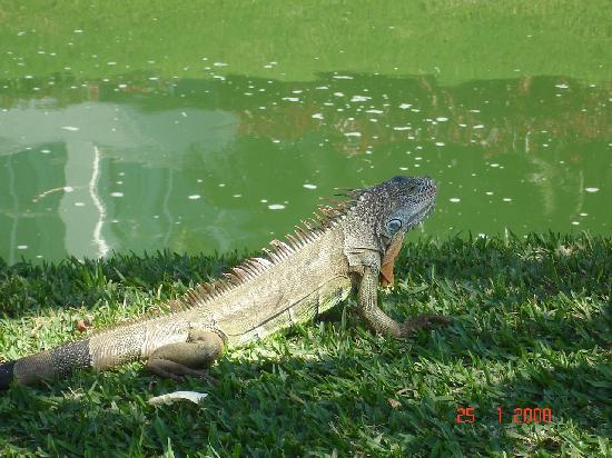 Mayan Palace Nuevo Vallarta: Iguana roaming the grounds