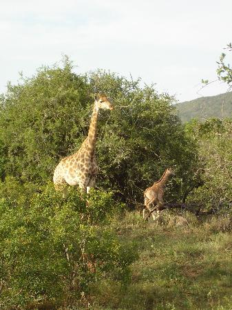 Sungulwane Hills Game Lodge: Baby giraffe