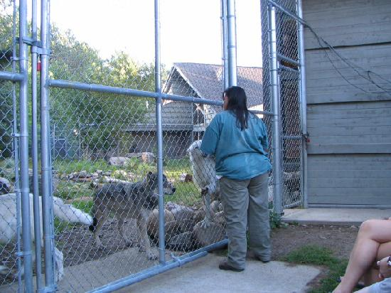 International Wolf Center: Behind the scenes program with one of the staff workers.