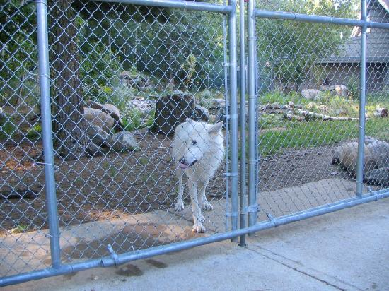 International Wolf Center: Up close and personal with the wolves.