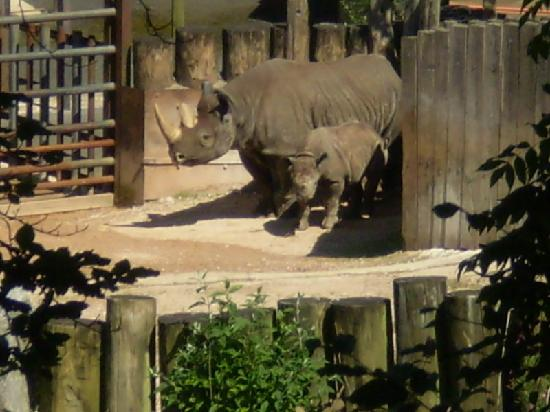 Paignton, UK: Baby Zuri the Rhino (August 2007)
