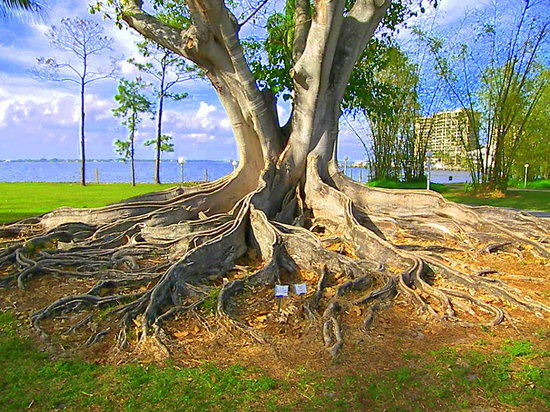 Fort Myers, Flórida: Massive Banyan Roots