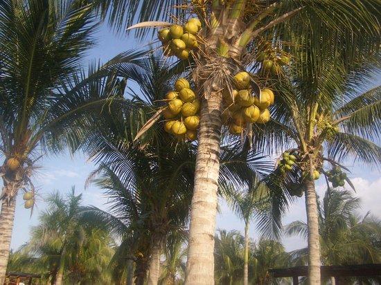 Hotel Barcelo Maya Beach: Coconuts
