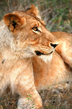 Sabi Sand Game Reserve, South Africa: Lioness