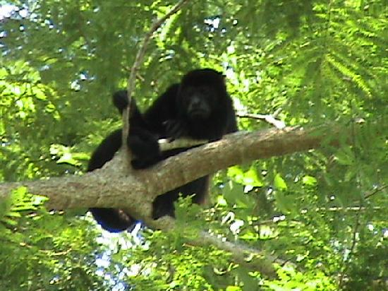 Allegro Papagayo: The howler monkey in the tree
