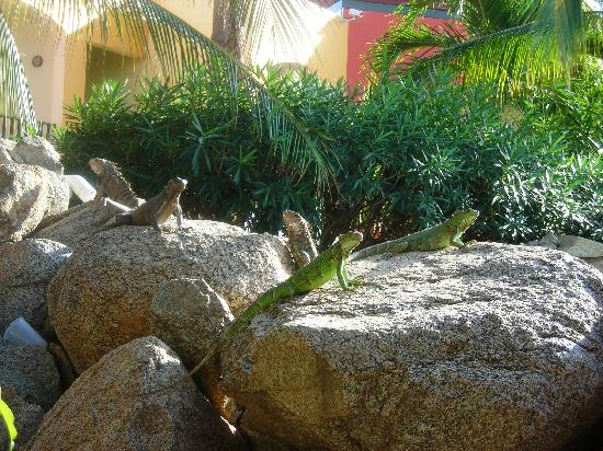 The Mill Resort & Suites: Iguanas at the pool