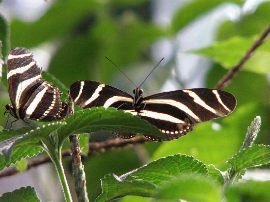 Giardini di Papagayo Hotel: MonteVerde Zebra Butterflies