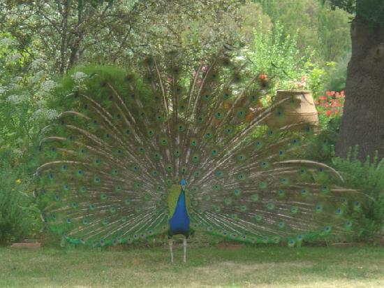 Adelaide Hills, Australien: Peacock strutting his stuff
