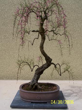 Rhododendron Species Botanical Garden: Pacific Bonsai Collection