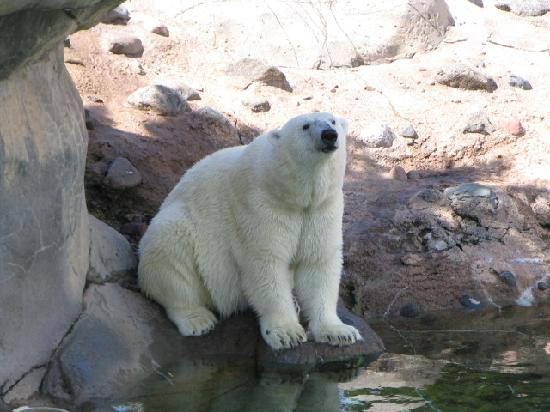 Lake Superior Zoo & Zoological Society: Polar Bear