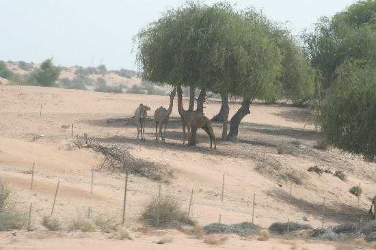 Hilton Ras Al Khaimah Resort & Spa: Some camels on the road