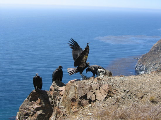Eagles on a cliff in Big Sur