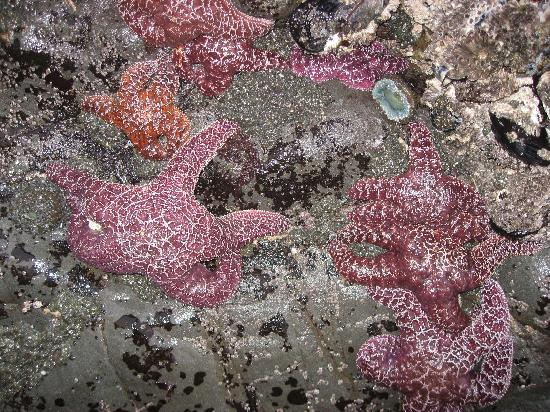 Howard Creek Ranch: loads of starfish at the beach