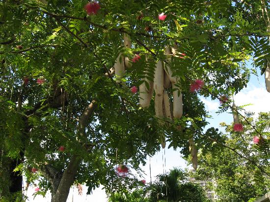 Jungle Island: Sausage tree